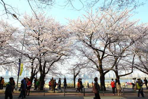 Hai điểm ngắm hoa anh đào hút khách ở Hàn Quốc