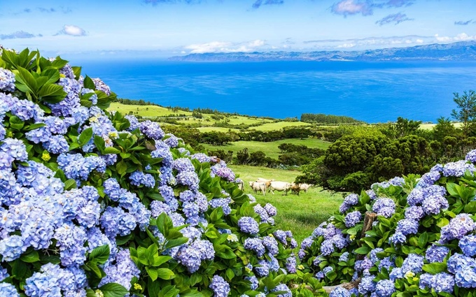 Hòn đảo ngập tràn hoa cẩm tú cầu ở Bồ Đào Nha