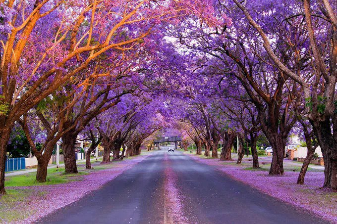 Mùa hoa phượng tím ở Australia